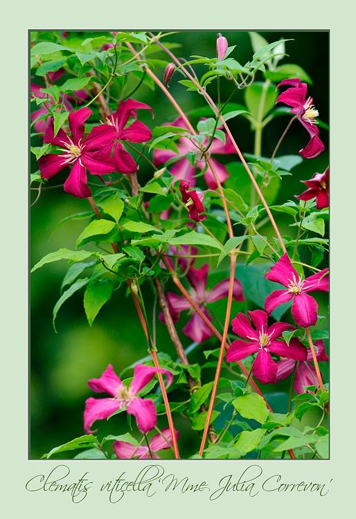 Clematis viticella 'Mme Julia Correvon' - Garden perennials