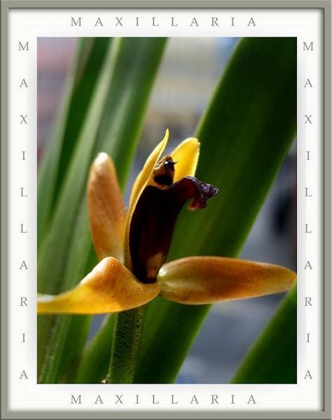 Maxillaria nasuta - Orchids