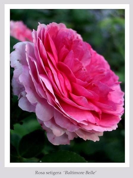 Rosa 'Geschwind's Orden' - Roses