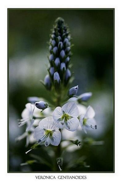 Veronica gentianoides - Garden perennials