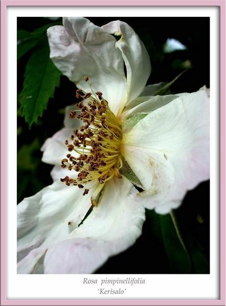 Rosa 'Kerisalo' 2 - Roses