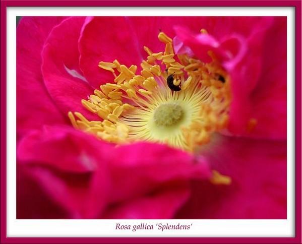 Rosa gallica 'Splendens' 2 - Roses