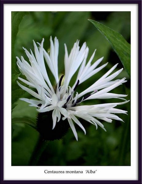 Centaurea montana 'Alba' - Garden perennials