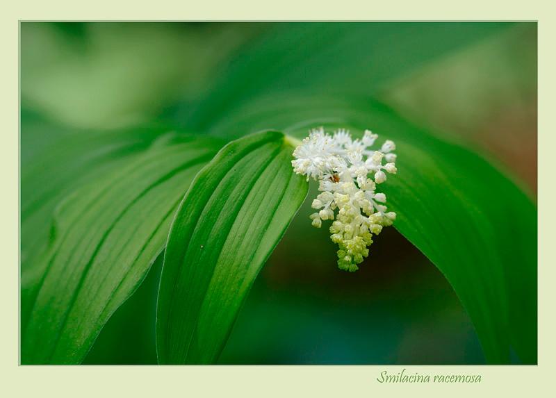 Smilacina racemosa 2 - Garden perennials