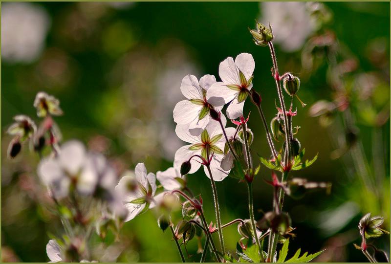 Geranium ruprechtii - Garden perennials