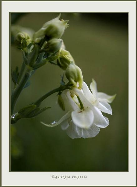 Aquilegia vulgaris 3 - Garden perennials