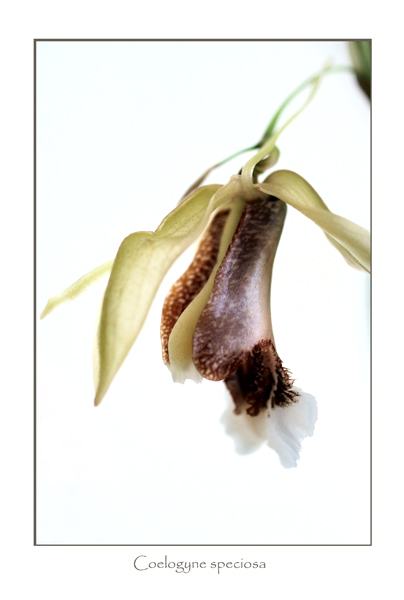 Coelogyne speciosa 2 - Orchids