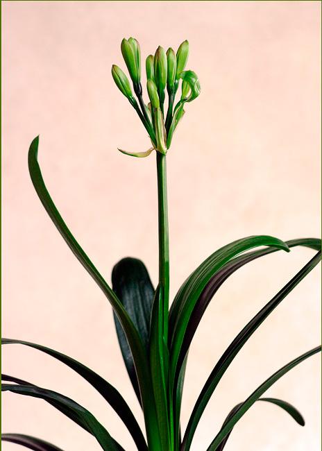 Clivia miniata Green 1 - Windowsill Garden