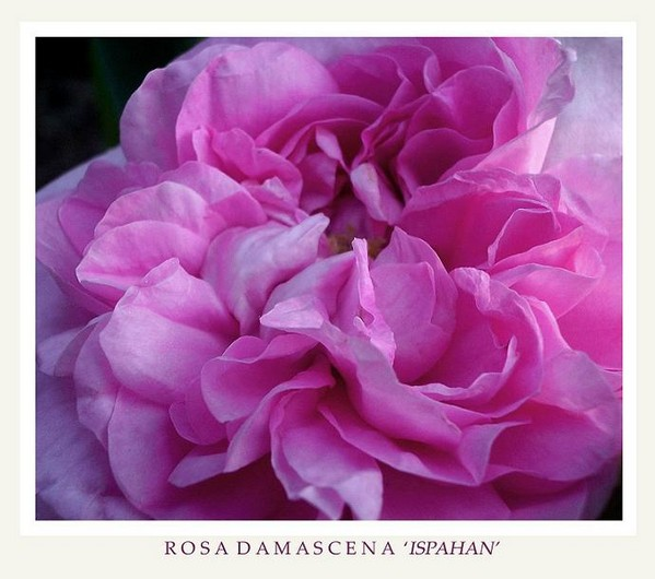 Rosa damascena 'Ispahan' 2 - Roses