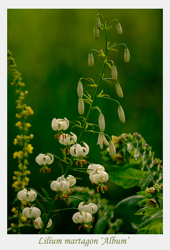 Lilium martagon 'Album' 2 - Garden perennials