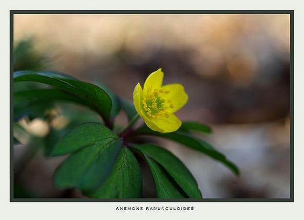 Anemone ranunculoides - Garden perennials