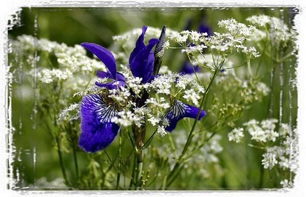 Iris sibirica - Still Life
