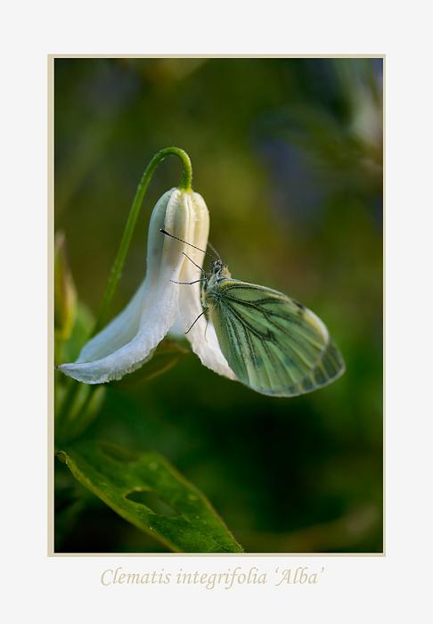 Clematis integrifolia 'Alba' - Garden perennials