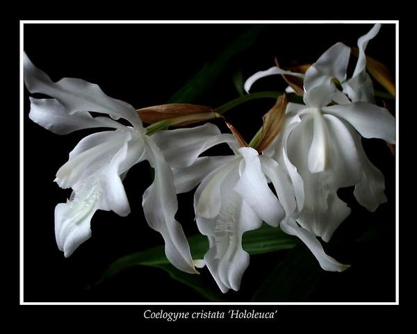 Coelogyne cristata 'Hololeuca' - Orchids