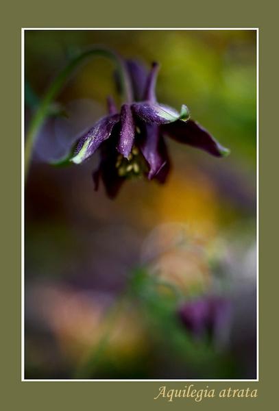 Aquilegia atrata - Garden perennials