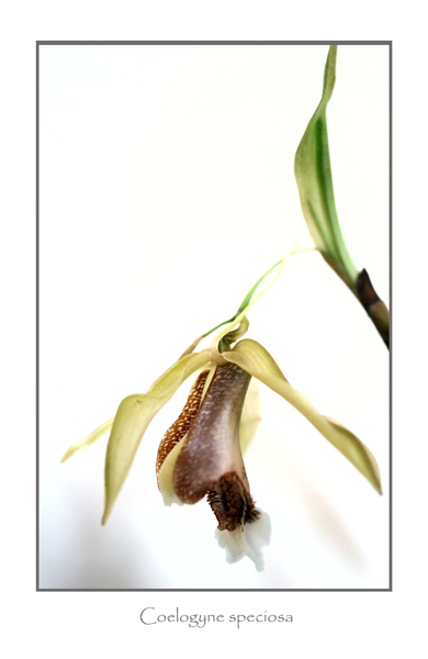 Coelogyne speciosa - Orchids