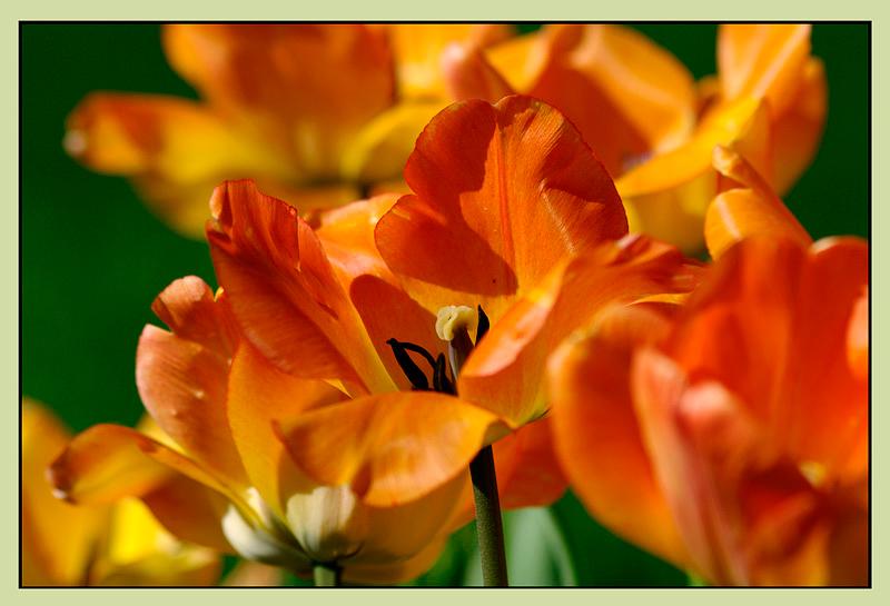 Tulipa 'Daydream' 1 - Garden perennials