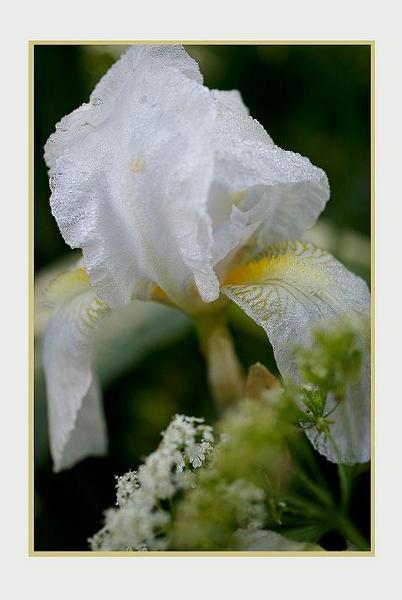 Iris germanica 'Florentina' - Still Life