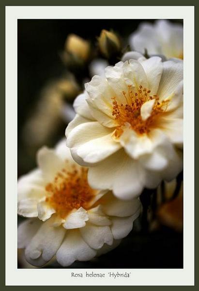 Rosa helenae 'Hybrida' - Roses