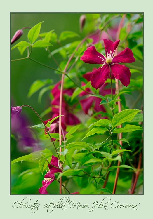 Clematis viticella 'Mme Julia Correvon' 2 - Garden perennials