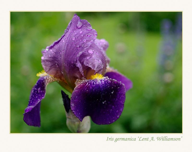 Iris germanica 'Lent A. Williamson' - Garden perennials