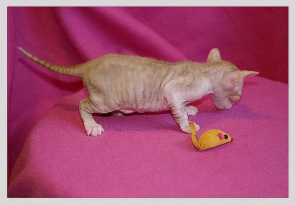14 days - red/white boy - Linssi's kittens