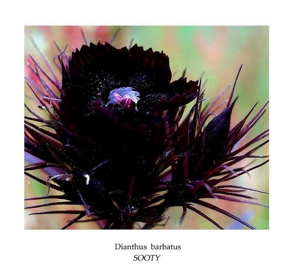 Dianthus barbatus 'Sooty' - Garden perennials