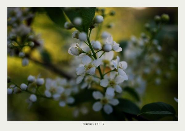 Prunus padus 2 - Trees and Shrubs