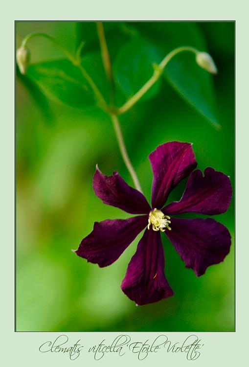 Clematis viticella 'Etoile Violette' - Garden perennials