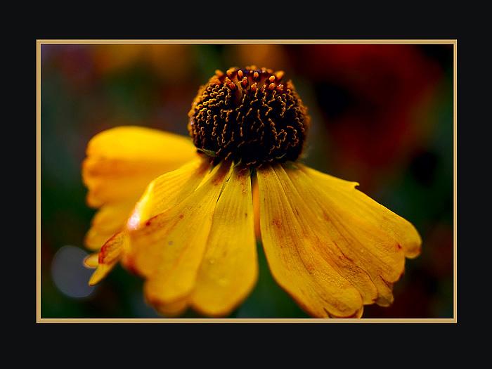 Helenium hybr. - Garden perennials