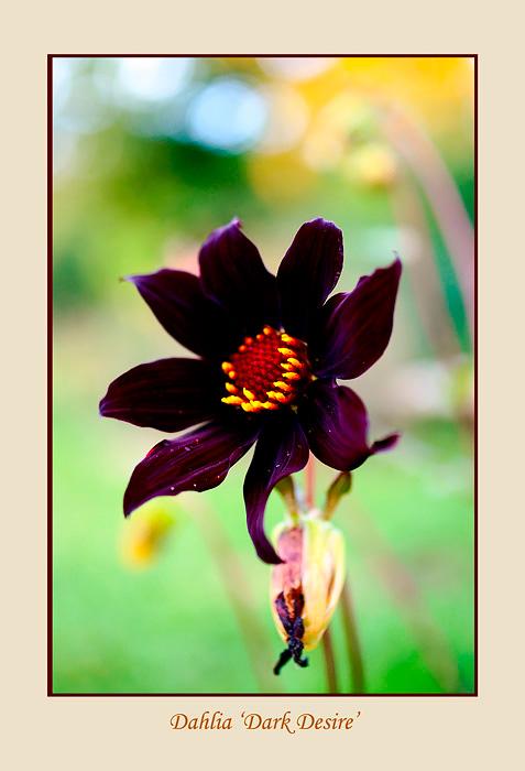 Dahlia 'Dark Desire' 1 - Garden perennials