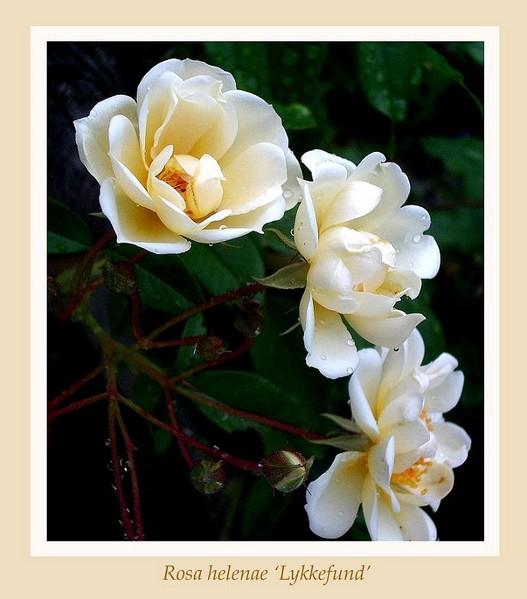 Rosa helenae 'Lykkefund' - Roses