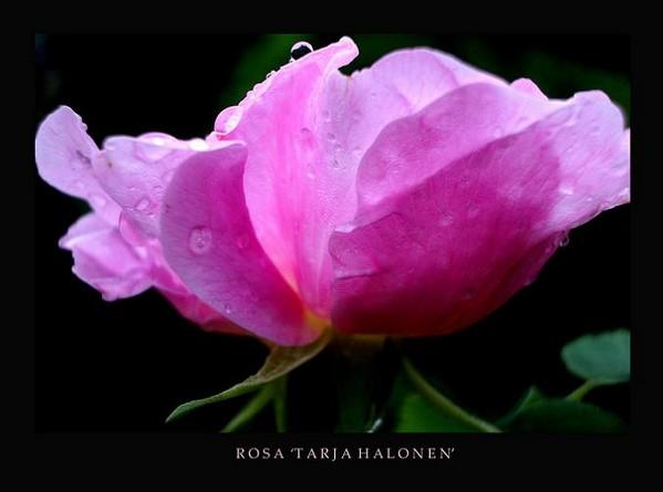 Rosa 'Tarja Halonen' - Roses