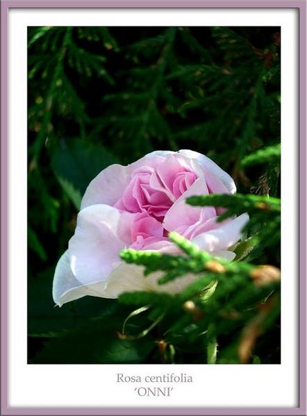 Rosa centifolia 'Onni' 1 - Roses