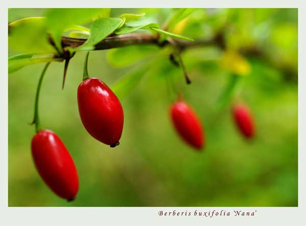 Berberis buxifolia 'Nana' 3 - Trees and Shrubs