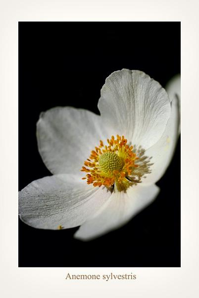 Anemone sylvestris - Garden perennials