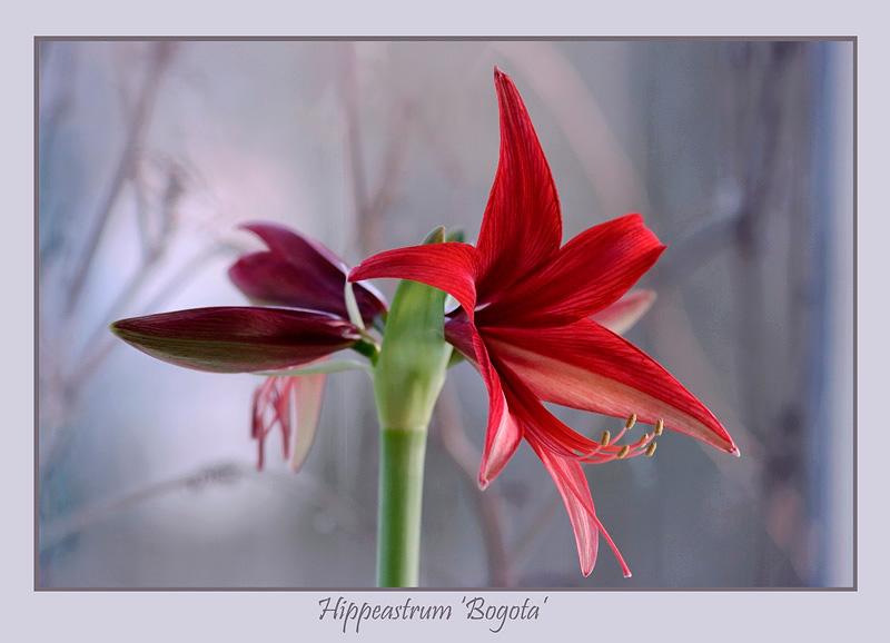 Hippeastrum 'Bogota' - Windowsill Garden