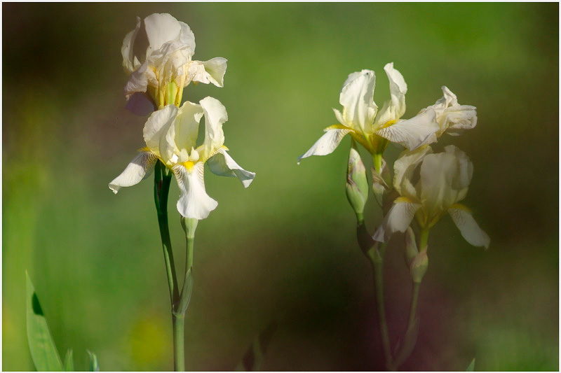 Iris germanica 'Flavescens' 2 - Garden perennials