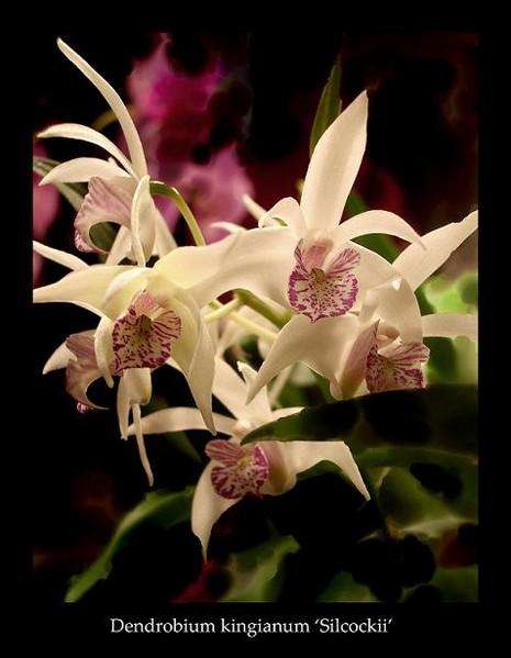 Dendrobium kingianum var. - Orchids