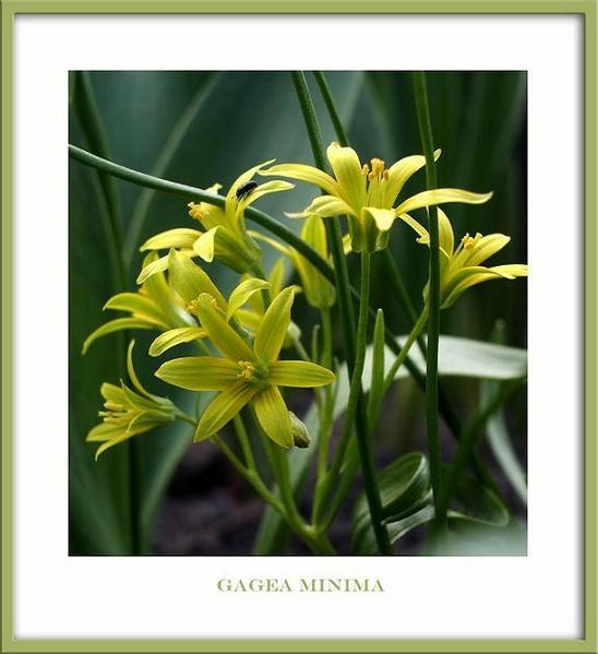 Gagea minima - Garden perennials