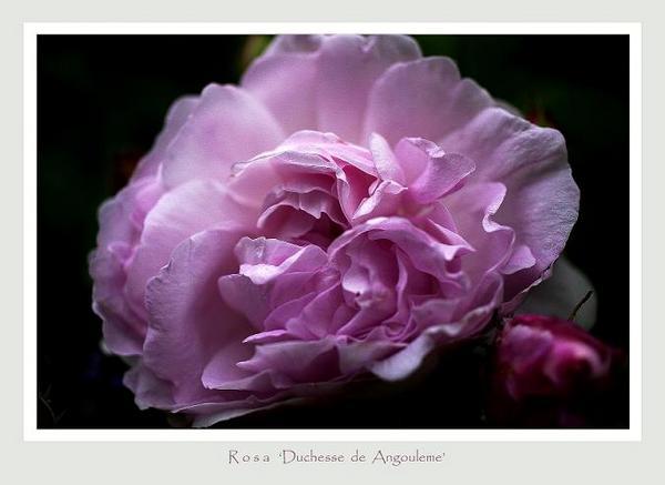 Rosa gallica 'Duchesse de Angouleme' - Roses