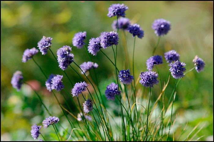 Allium sikkimense - Garden perennials