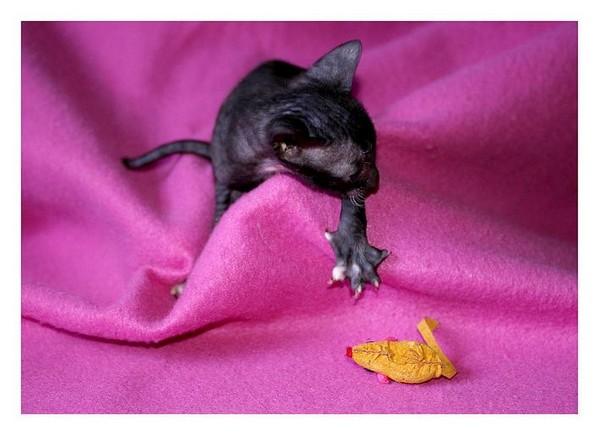 14 days - b/w girl - Linssi's kittens