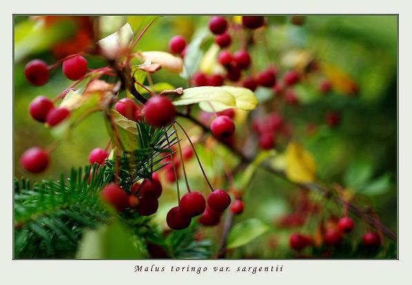 Malus toringo var. sargentii - Trees and Shrubs
