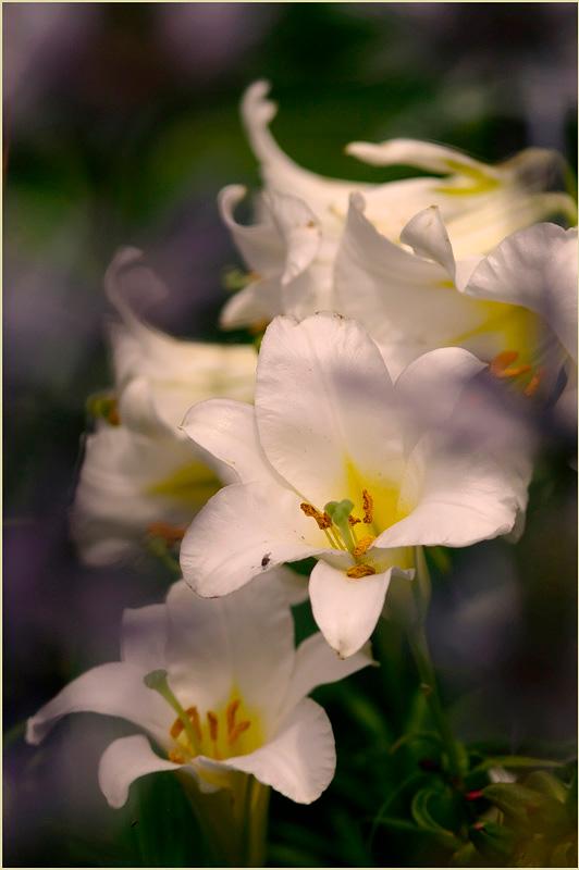Lilium regale 'Album' 3 - Garden perennials