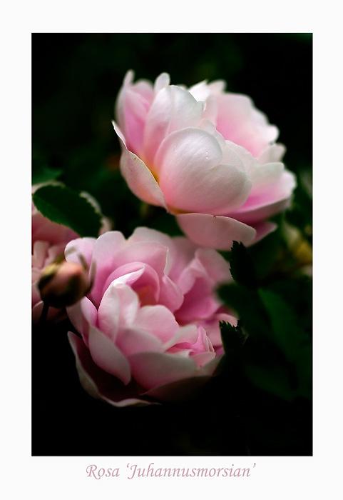 Rosa 'Juhannusmorsian' 2 - Roses