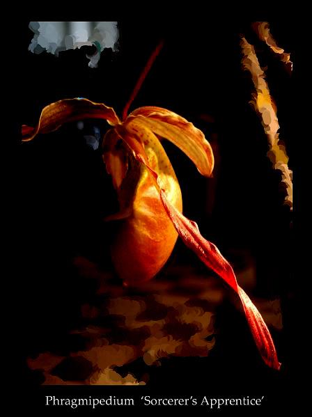 Phrag. 'Sorcerer's Apprentice' - Orchids