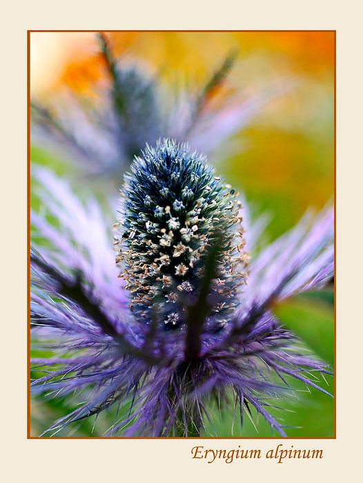 Eryngium alpinum 3 - Garden perennials