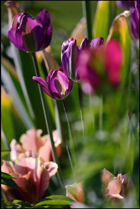 Tulipa 'Night Rider' with 'Artist' - Garden perennials