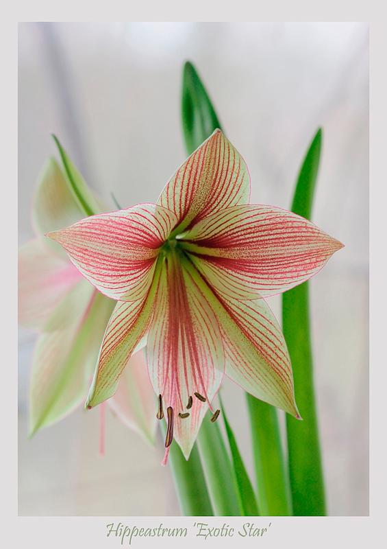 Hippeastrum 'Exotic Star' 2 - Windowsill Garden